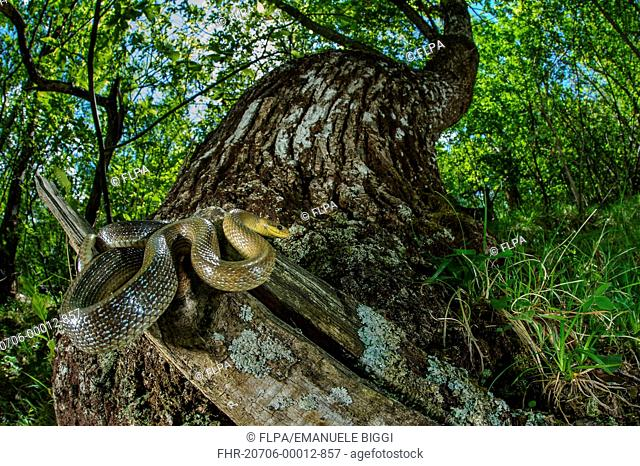 Aesculapian Snake (Zamenis longissimus) adult, coiled on stump in woodland habitat, Italy, June