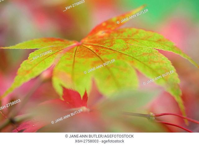 Acer Palmatum Amoenum, stunning autumn colour change