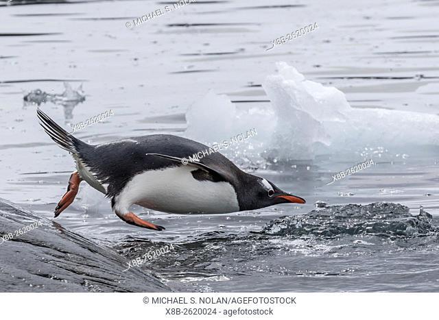Gentoo penguin, Pygoscelis papua, returning to sea from breeding colony at Booth Island, Antarctica