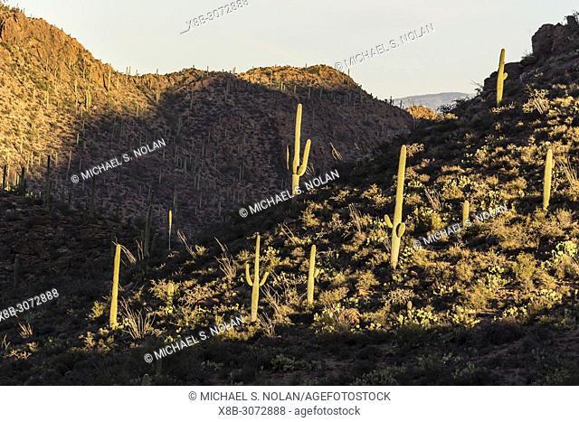 Giant saguaro cactus, Carnegiea gigantea, in the Catalina Mountains, Tucson, Arizona, U. S. A