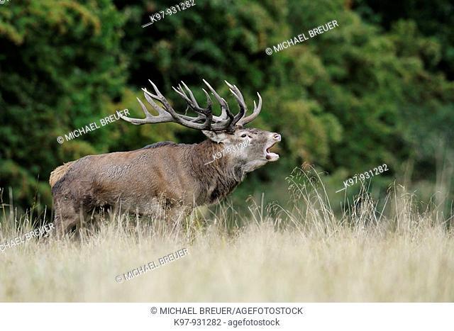 Red deer, Cervus elaphus, Rothirsch, Rotwild