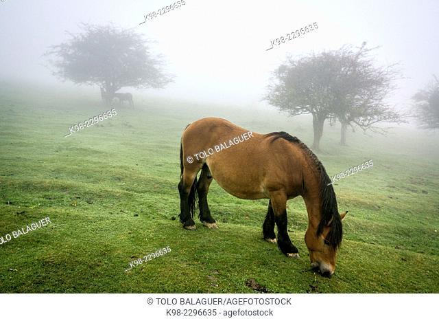 Horse grazing in fog, parque natural Gorbeia, Alava-Vizcaya, Euzkadi, Spain