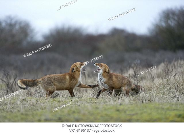 Red Foxes (Vulpes vulpes) confront, opposing each other, threatening, chasing, fighting, showing teeth, rutting season