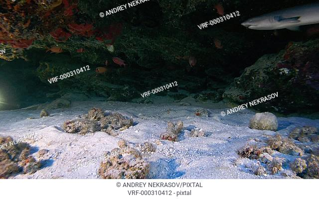 Whitetip shark swim in the cave, Whitetip reef shark - Triaenodon obesus. Indian Ocean, Fuvahmulah island, Maldives, Asia