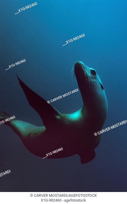 Underwater view of California Sea Lion Zalophus californianus swimming of off Santa Barbara Island, California
