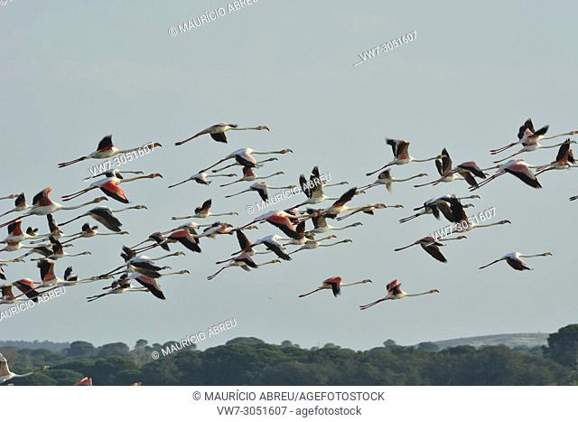 Flamingos (Phoenicopterus roseus) flying over the Sado Estuary Nature Reserve. Portugal