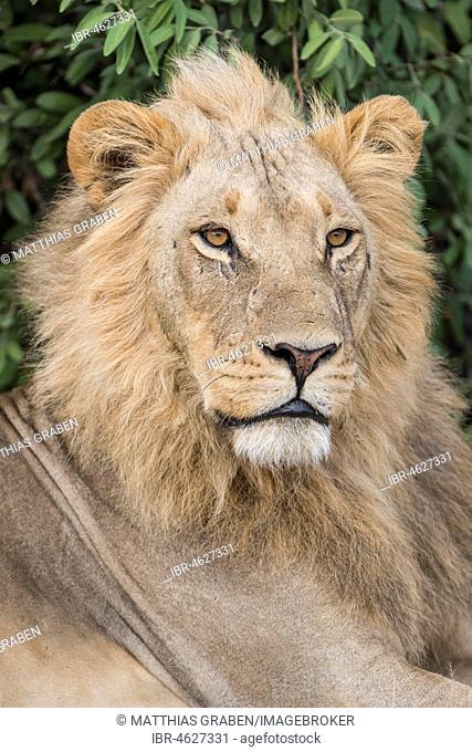 Lion (Panthera leo), male, portrait, Savuti, Chobe National Park, Chobe District, Botswana