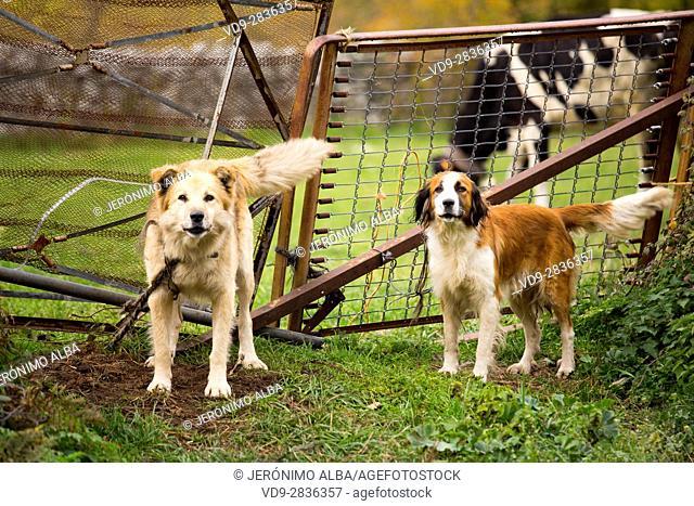 Dogs guarding the entrance to a farm. Las Machorras, Burgos. Castile and Leon Spain, Europe