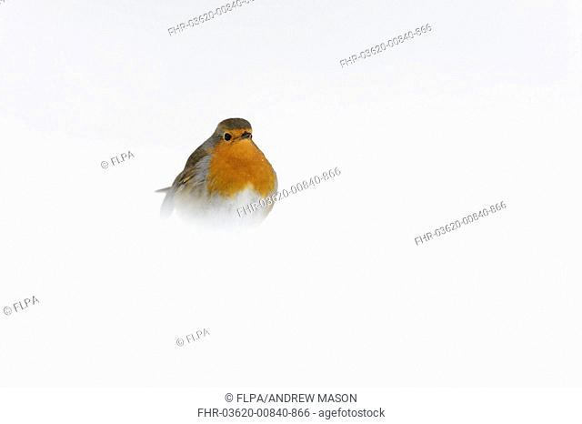 European Robin (Erithacus rubecula) adult, standing on snow covered heathland, Cannock Chase, Staffordshire, England, January