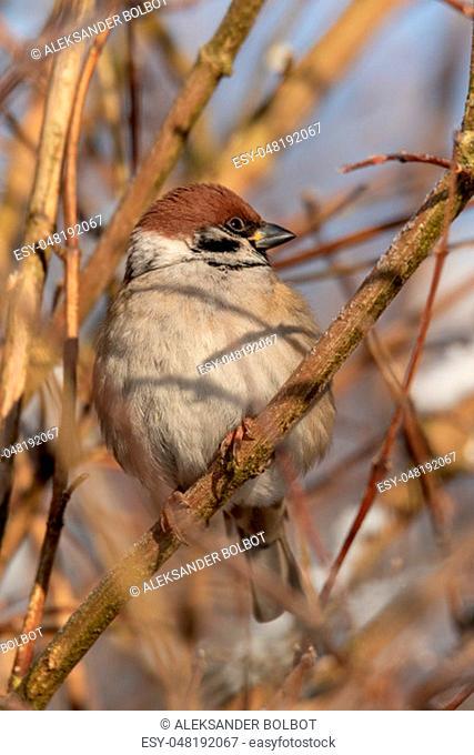Eurasian tree sparrow (Passer montanus) close up in sun, Podlasie Region, Poland, Europe