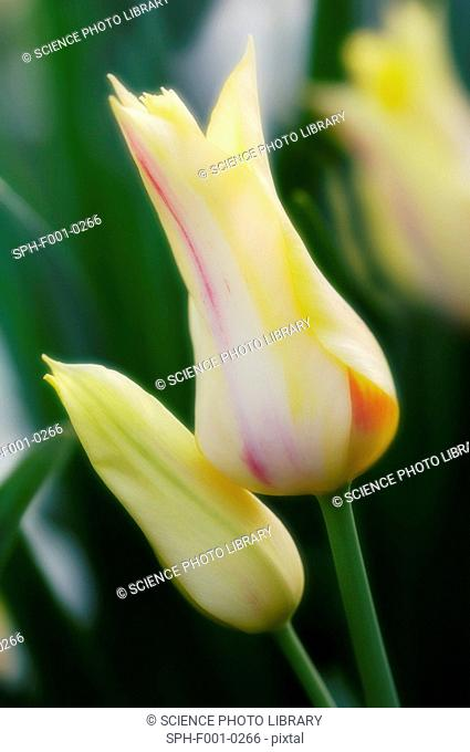 Multi flowering tulip Tulipa hybrid