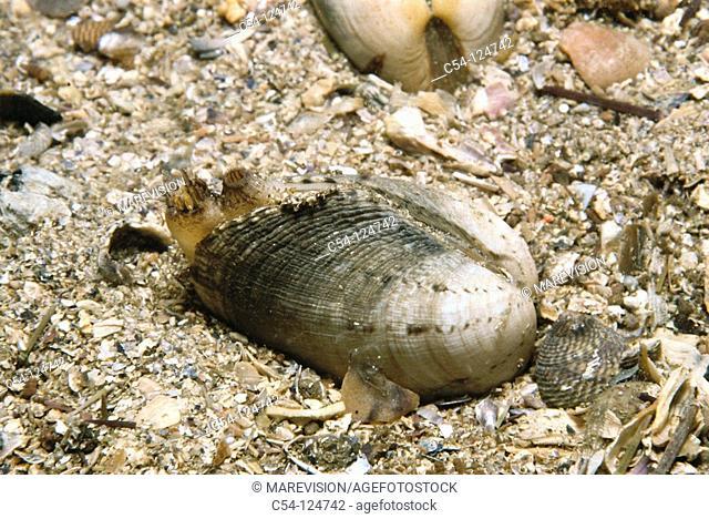 Venus clam (Venerupis pullastra). Ria of Vigo, Pontevedra province, Galicia, Spain