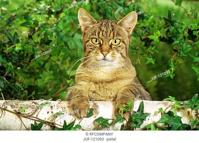 tabby domestic cat - forepaws on bole