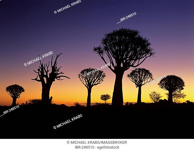 Silhouettes of quiver trees, aloe dichotoma, at twilight just after sunset quiver tree forest, Keetmanshoop, Namibia, Africa