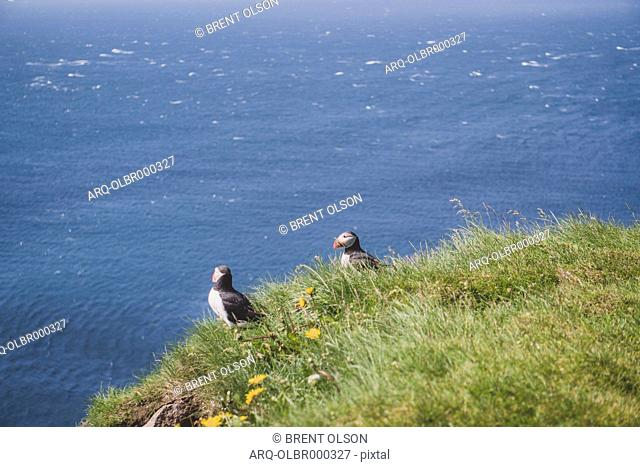 Two Puffins On The Cliffs At Latrabjarg, Iceland