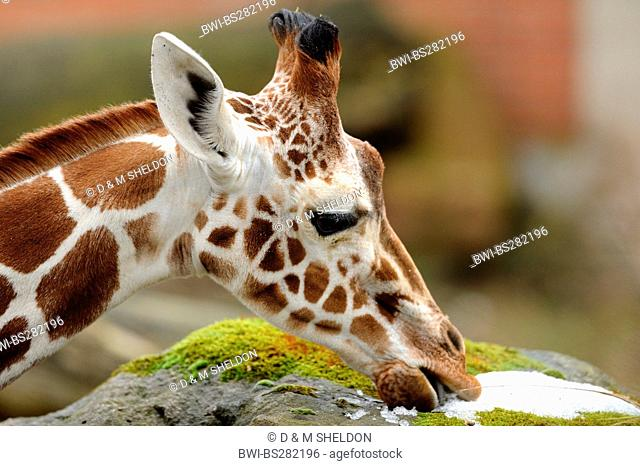 reticulated giraffe Giraffa camelopardalis reticulata, portrait