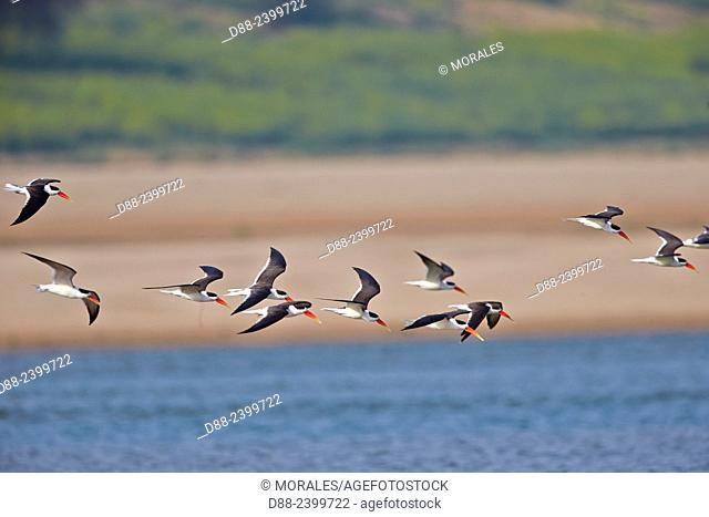 Asia,India,Uttar Pradesh,Chambal river,Indian skimmer or Indian scissors-bill (Rynchops albicollis),group in flight