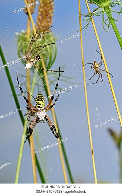 Black-and-Yellow Argiope, Black-and-Yellow Garden Spider (Argiope bruennichi). Fresh moulted female in orb with male waiting next to her, ready to mate