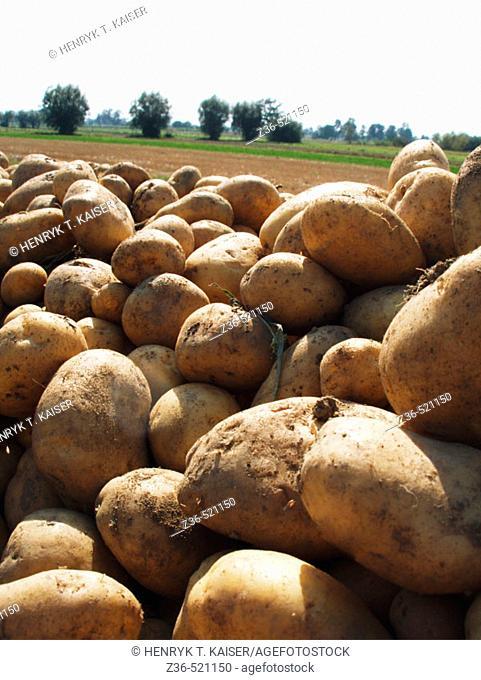 Potatoes on field