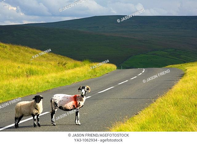 England, Northumberland, North Pennines  Sheep crossing a country road running through dramatic Pennine scenery, in the North Pennines Area of Outstanding...