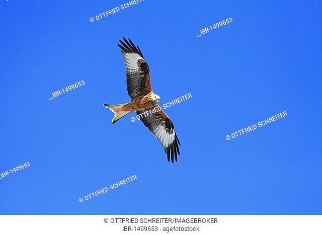 Red Kite (Milvus milvus) flying