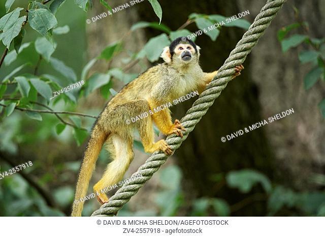 Close-up of a common squirrel monkey (Saimiri sciureus) in late summer