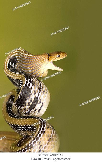 Snake, coelognatus radiatus, radiated ratsnake, copperhead rat snake, reptile, reptiles, snake