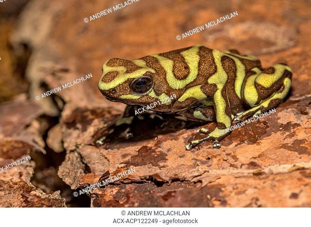 Dendrobates auratus 'reticulated' Tobago - captive bred
