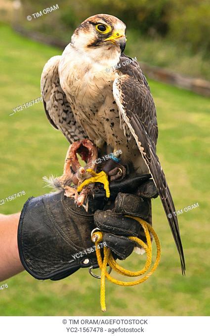A captive Lanner Falcon  falco biarmicus  bird of prey at Stonham Barns in Suffolk , England , Britain , Uk