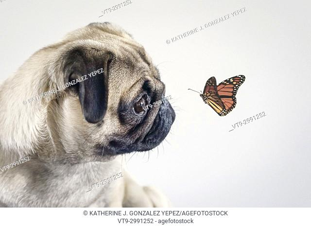 Pug looking at butterfly