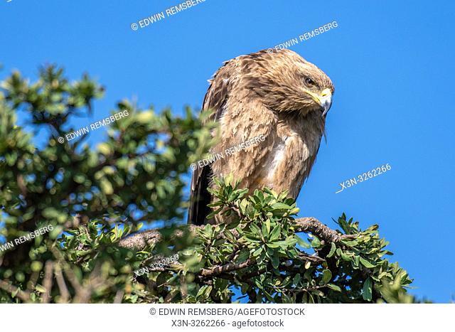 Tawny eagle (Aquila rapax) , Maasai Mara National Reserve, Kenya