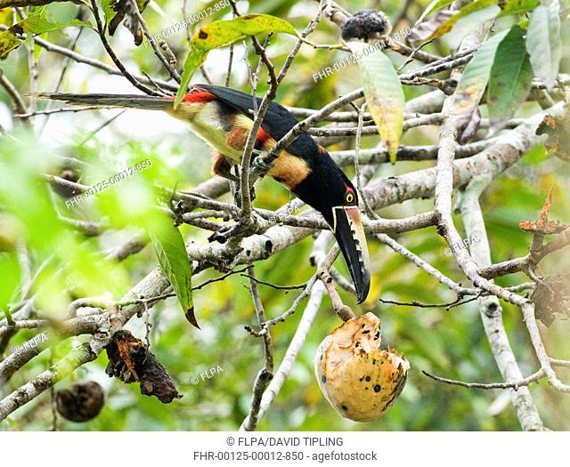 Collared Aracari Pteroglossus torquatus adult, feeding on fruit in tree, Tikal N P , Peten, Guatemala