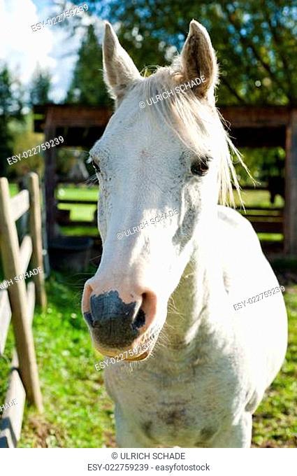 White horse in the autumn sun