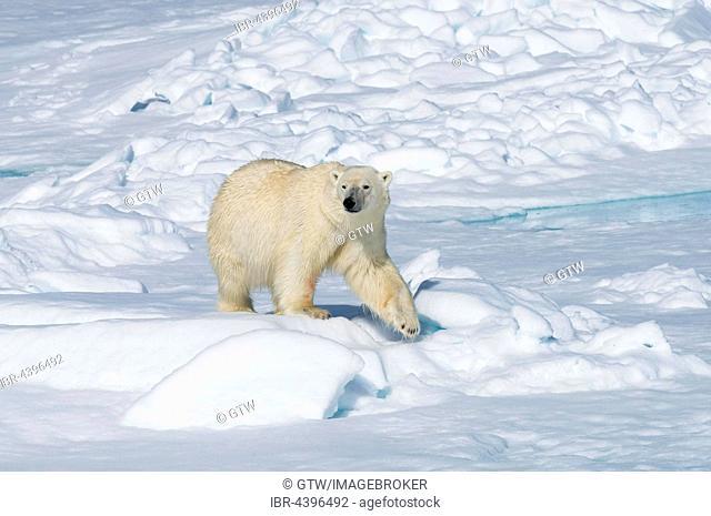 Male polar bear (Ursus maritimus) walking on pack ice, Spitsbergen, Svalbard, Norway