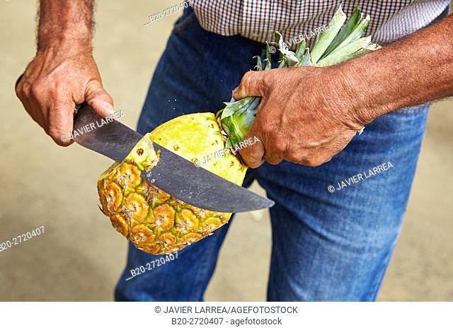 Farmer, peeling a honey gold pineapple, Piña oro miel, Buenavista, Quindio, Colombia, South America