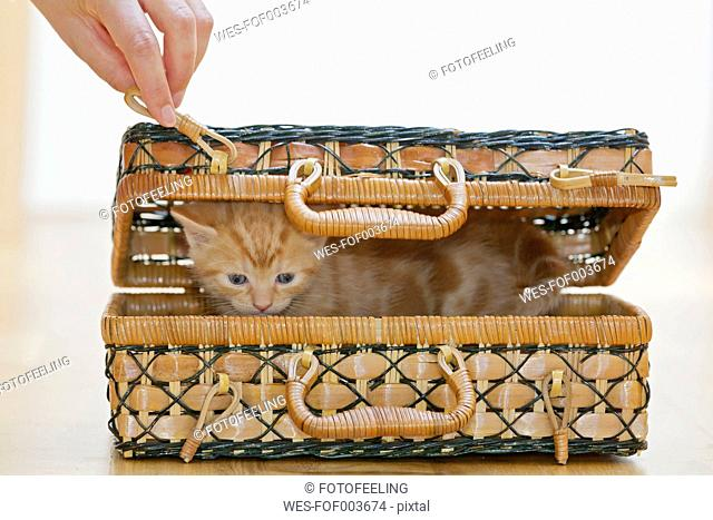 Germany, Human hand holding hook with Kitten in box, close up