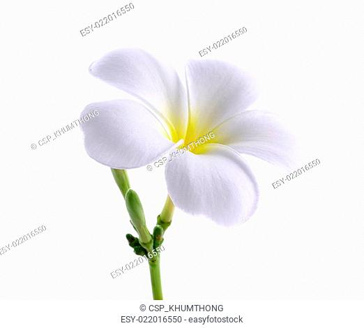 Frangipani or Plumeria isolated on the white background