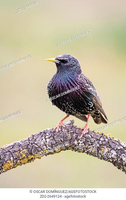 Common Starling (Sturnus vulgaris) perched on branch. Lleida province. Catalonia. Spain