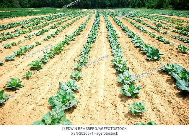 Rows of Vegetable Plants- Clinton MD
