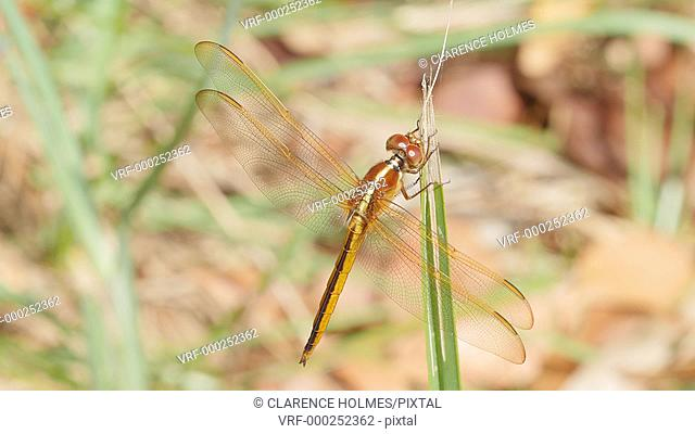 A female Golden-winged Skimmer (Libellula auripennis) perches on a marsh grass leaf near Paurotis Pond in Everglades National Park