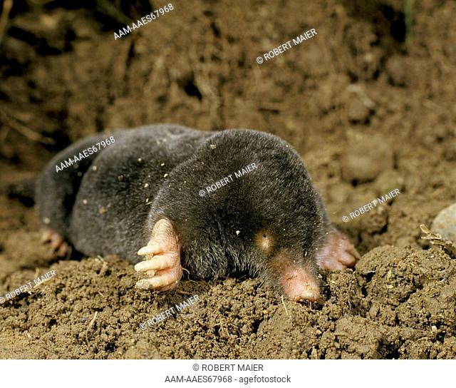 Mole (Talpa europaea) Germany