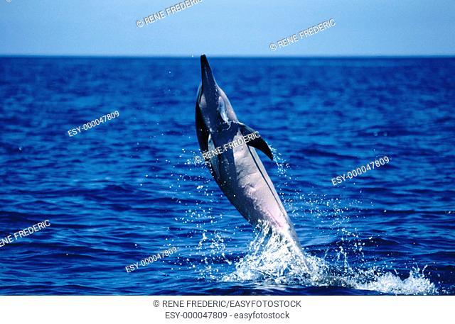 Spinner Dolphin (Stenella longirostis). Near Kona. Big Island, Hawaii