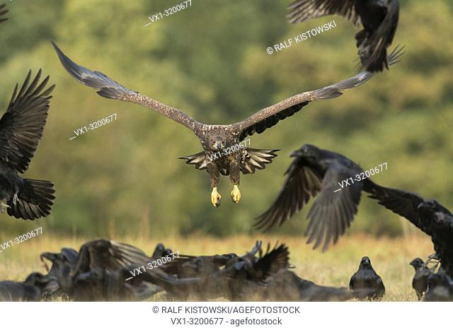 White-tailed Eagle / Sea Eagle ( Haliaeetus albicilla), subadult, chases Northern Ravens, food competitors, opportunistic feeders