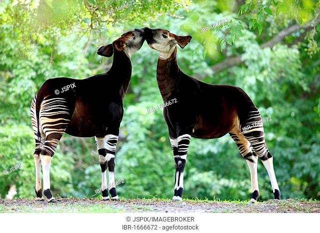 Okapi (Okapia johnstoni), adult pair, captive, Mami, Florida