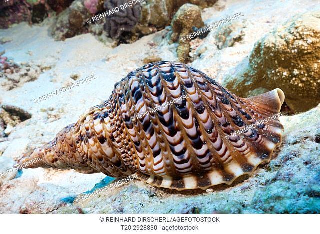 Giant Triton Shell, Charonia tritonis, Christmas Island, Australia