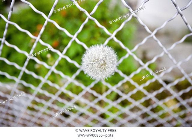 Dandelion growing out of a wire fence, Chamonix, France