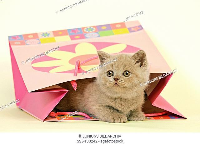 British Shorthair kitten - in bag