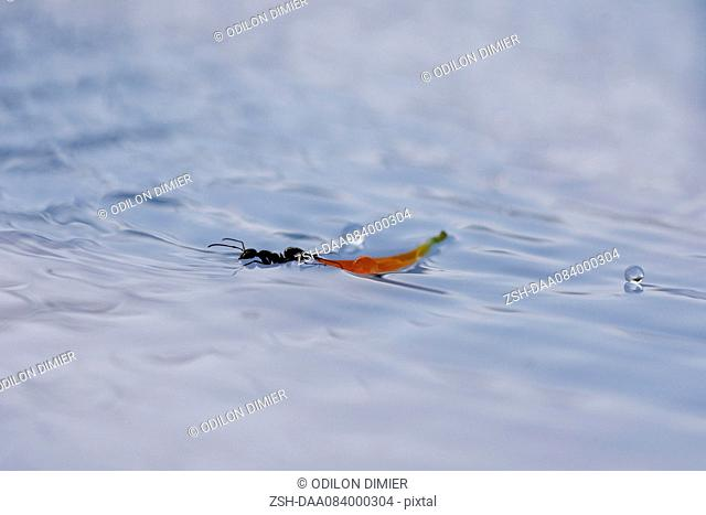 Ant floating on surface of water