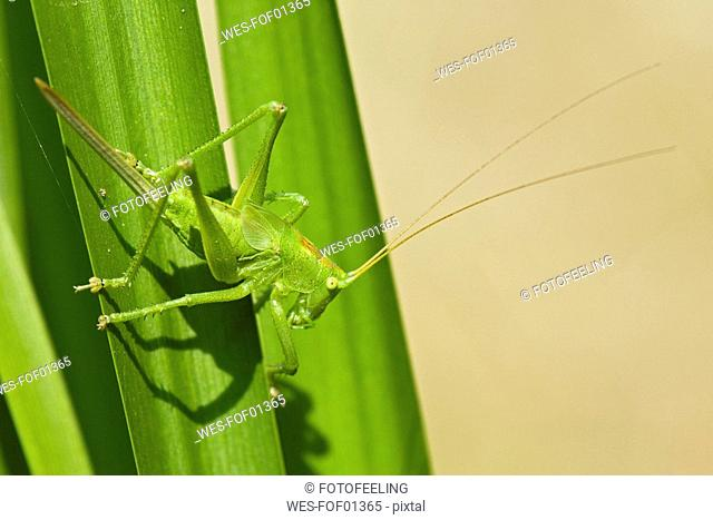Great green bush cricket Tettigonia viridissima on leaf, close-up