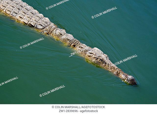 Nile Crocodile (Crocodylus niloticus), Agatha Crocodile Ranch, Agatha, Tzaneen district, Limpopo province, South Africa